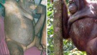 Pony, la scimmia-prostituta: contadini pagano 2 euro per fare sesso con lei